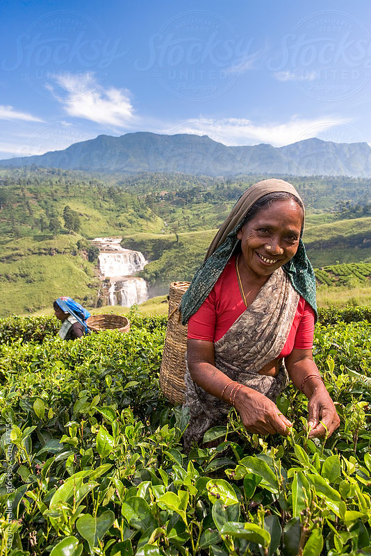 Sri Lanka, The Hill Country, Nuwara Eliya, Tea Plantation, woman picking tea by Gavin Hellier