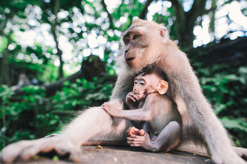 Adult long-tailed macaque being and her baby by Gary Radler Photography