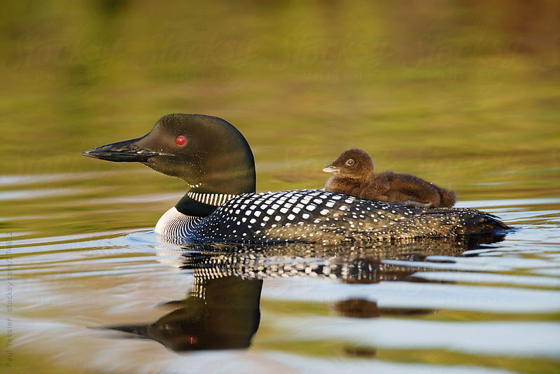 Loon with Chick by Paul Tessier