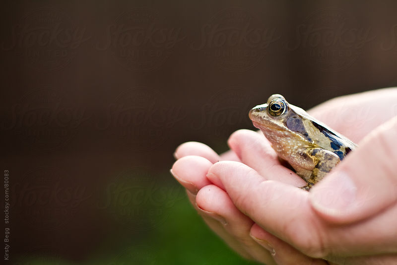 Man holding a British/English Common frog by Kirsty Begg