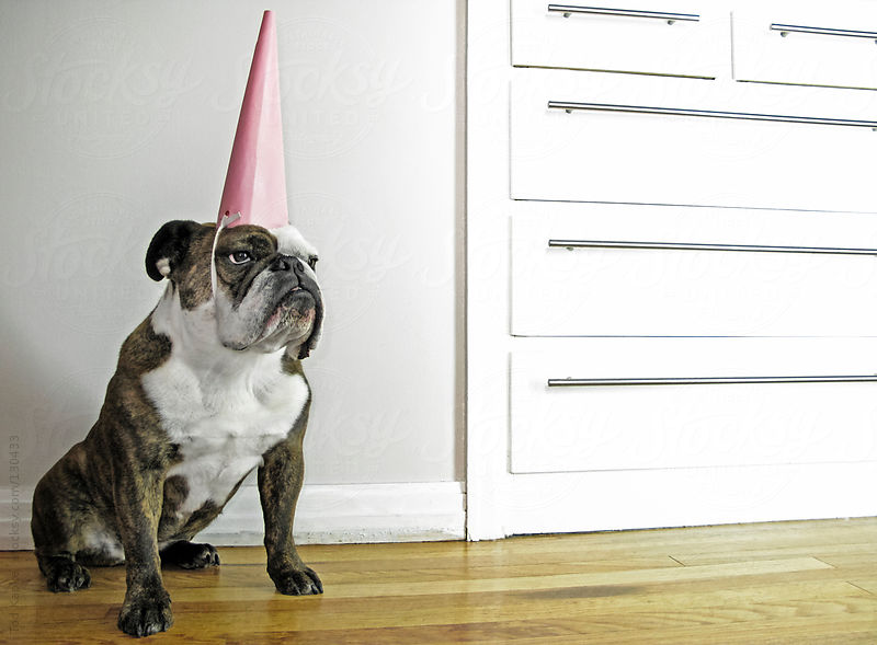 English Bulldog with party hat by Tod Kapke