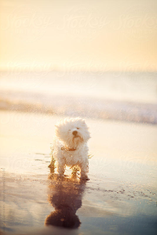 White dog shaking water droplets at the beach at sunset by Angela Lumsden