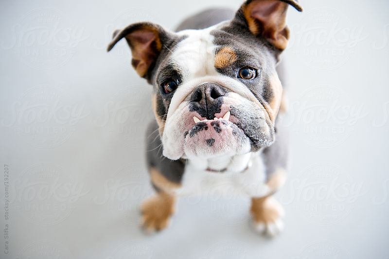 English bulldog looks up at camera by Cara Slifka
