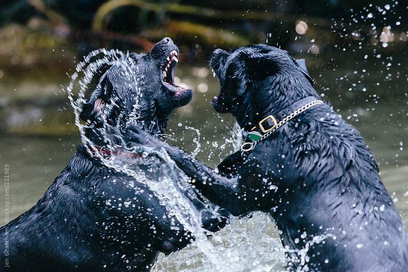 Black labs playing in water by Jen Grantham