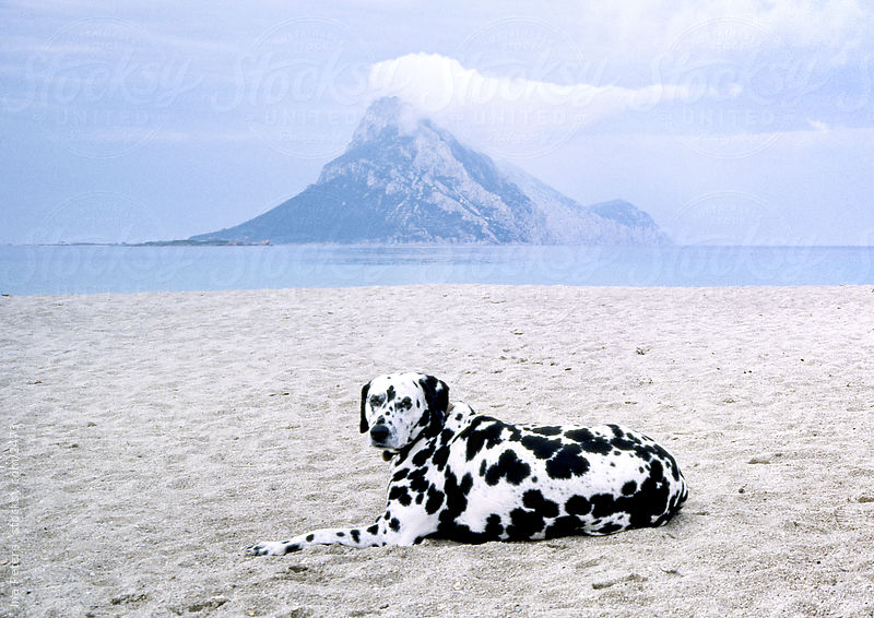 Picture of a Dalmatinian Dog On The Beach, Sardinia Italy by Ina Peters