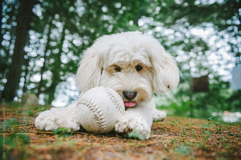 Poodle mix dog playing with baseball by Jen Grantham