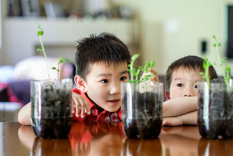 Asian boys watching the growth of their plant as part of the science project by Suprijono Suharjoto