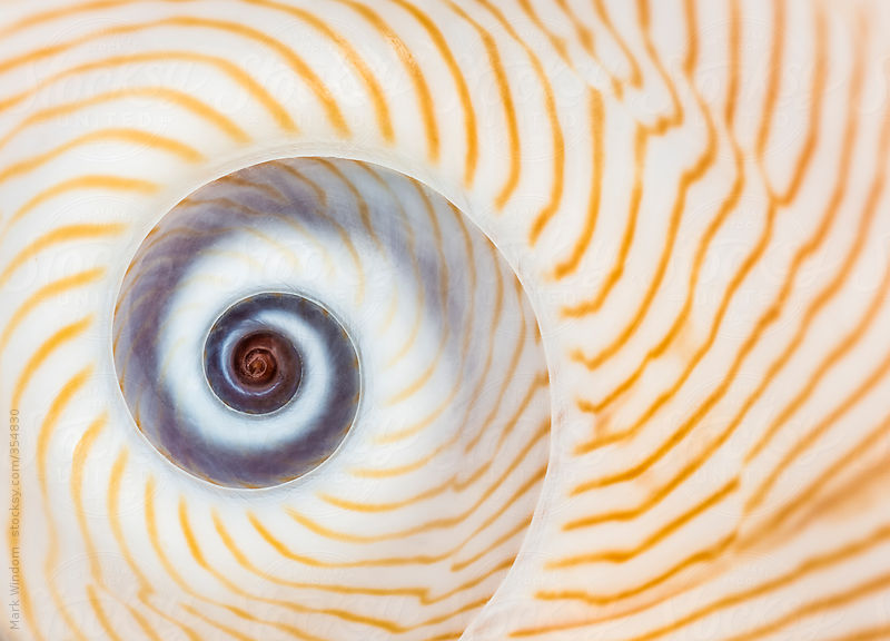 Patterns in a 'Lined Moon' seashell by Mark Windom