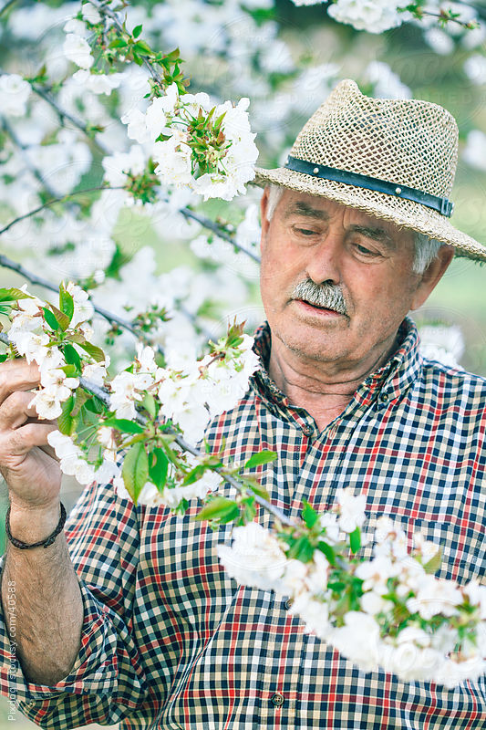 Gardener inspecting Cherry tree blossom by Julieanne Birch