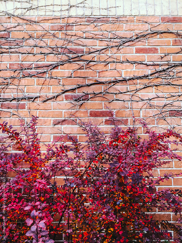 Vines on a brick wall by Jen Grantham