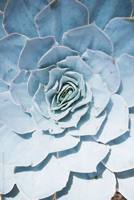 Beautiful succulent plant houseleek petals. by Lawren Lu
